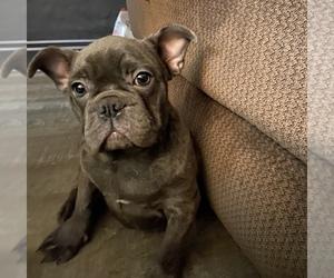 French Bulldog Dog for Adoption in WALDORF, Maryland USA
