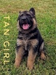 German Shepherd Dog Puppy For Sale in MOUNT PLEASANT, TX, USA