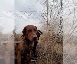 Labrador Retriever Puppy for Sale in DELANO, California USA