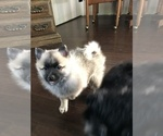 Small Photo #4 Pomsky Puppy For Sale in SUBLIMITY, OR, USA