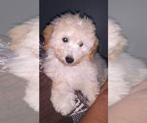 Poodle (Miniature) Puppy for sale in SALEM, MA, USA