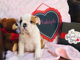Bulldog Puppy For Sale in OXFORD, CT, USA