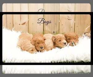 Goldendoodle Puppy for sale in STEM, NC, USA