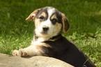 Puppy 5 Pembroke Welsh Corgi