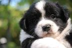 Miniature Australian Shepherd Puppy For Sale in FAIRFIELD, CT