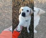 Small #419 Labrador Retriever Mix