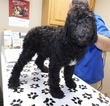 Miniature Bernedoodle Puppy For Sale in MIDDLEBURY, IN, USA