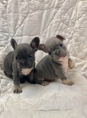 French Bulldog Puppy For Sale in NEWMAN, CA, USA