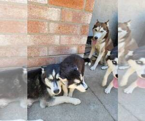 Siberian Husky Puppy for sale in ANTIOCH, CA, USA