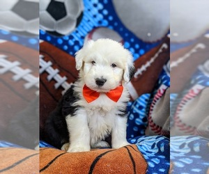 Old English Sheepdog Puppy for sale in CHRISTIANA, PA, USA