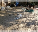 Small #5 Anatolian Shepherd-Maremma Sheepdog Mix