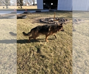 Father of the German Shepherd Dog puppies born on 12/12/2019