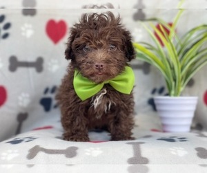Poodle (Miniature)-Schnoodle (Miniature) Mix Puppy for sale in LAKELAND, FL, USA