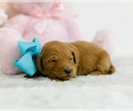 Puppy 4 Goldendoodle (Miniature)