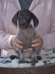 Puppy 5 German Shorthaired Pointer