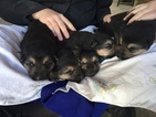 German Shepherd Dog Puppy For Sale in OLYMPIA, KY, USA
