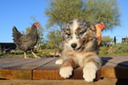 Australian Shepherd Puppy For Sale in MARANA, AZ
