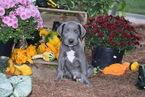 Great Dane Puppy For Sale in FREDERICKSBURG, OH, USA