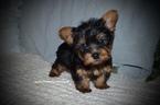 Yorkshire Terrier Puppy For Sale in GRAYSON, LA, USA