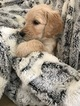 Goldendoodle-Poodle (Standard) Mix Puppy For Sale in CORNING, California,