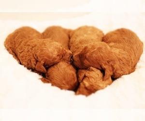 Goldendoodle Puppy for Sale in BRIGHTON, Missouri USA