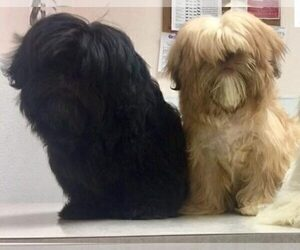 Father of the Shih Tzu puppies born on 06/25/2020