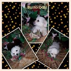 ShiChi Puppy For Sale in ORONOGO, MO