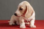 Dachshund Puppy For Sale in CROWLEY, TX, USA