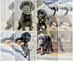 Labrador Retriever Puppy for sale in HINSDALE, IL, USA