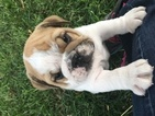 Bulldog Puppy For Sale in PURDY, MO