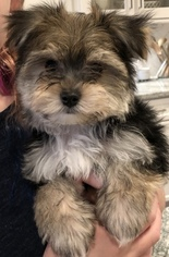 Morkie Puppy For Sale in BRENTWOOD, TN, USA