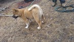Akita Puppy For Sale in LAKE ELMO, MN