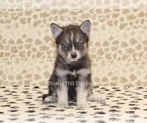 Pomsky Puppy for Sale in DENVER, Pennsylvania USA