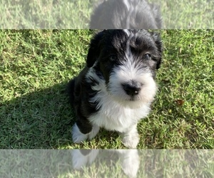 Bearded Collie-Poodle (Standard) Mix Puppy for Sale in TAYLOR, Texas USA