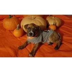 Boxer-Bullmastiff Mix Puppy for sale in WRIGHTSVILLE, PA, USA