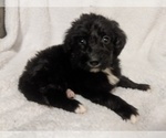 Small #2 Aussiedoodle