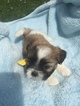 Shih Tzu Puppy For Sale in FRANKLIN, TN, USA