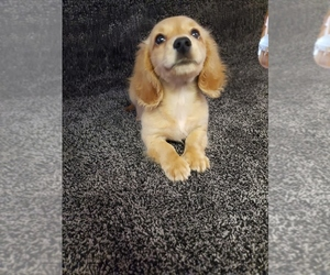 Dachshund Puppy for Sale in FAYETTEVILLE, Tennessee USA