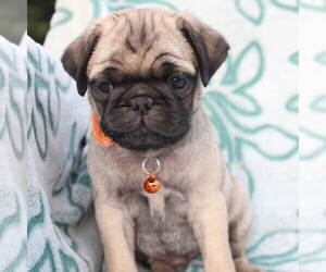 Pug Puppy for sale in CHARLOTT HALL, MD, USA