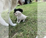Small #9 Great Pyrenees-Pyredoodle Mix