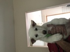 German Shepherd Dog Puppy For Sale in CRESCO, PA, USA