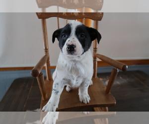 Australian Cattle Dog Dog for Adoption in HUDSON, Michigan USA