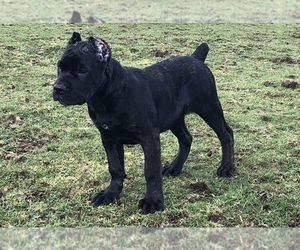 Cane Corso Puppy for sale in OLYMPIA, WA, USA