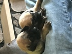 Akc female English mastiff puppies