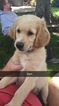 Goldendoodle Puppy For Sale in WINCHESTER, IN