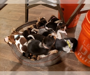 Beagle Puppy for Sale in CENTRALIA, Washington USA