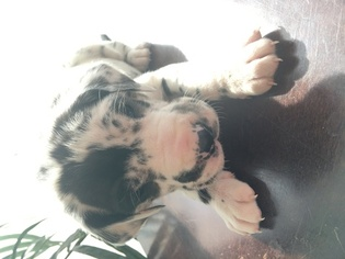 Great Dane Puppy For Sale in BECKER, MN