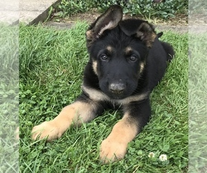 German Shepherd Dog Puppy for sale in NORTH WARREN, PA, USA