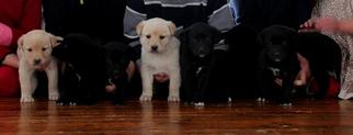 Borador Puppy For Sale in WARREN CENTER, PA, USA