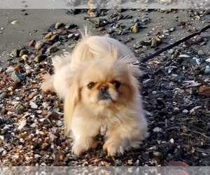 Mother of the Pekingese puppies born on 05/20/2020